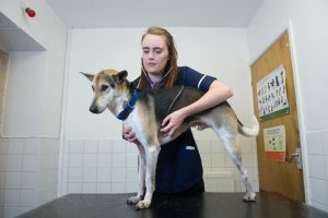 Veterinary nurse holding dog still while performing checks